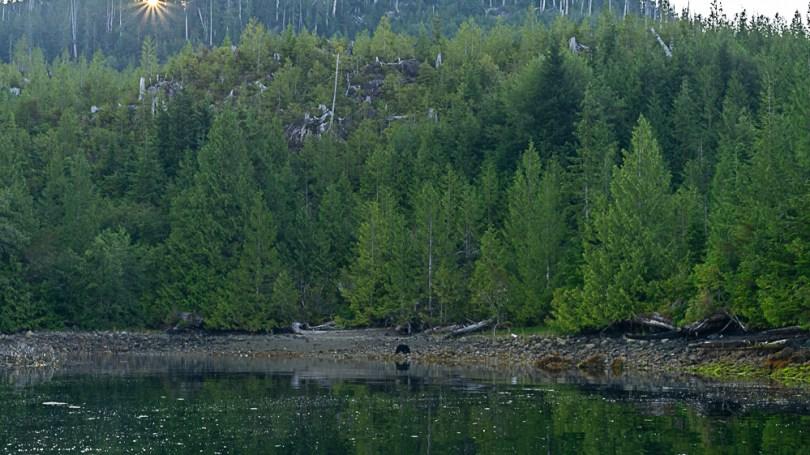Canada Colombie britannique tofino ours noir