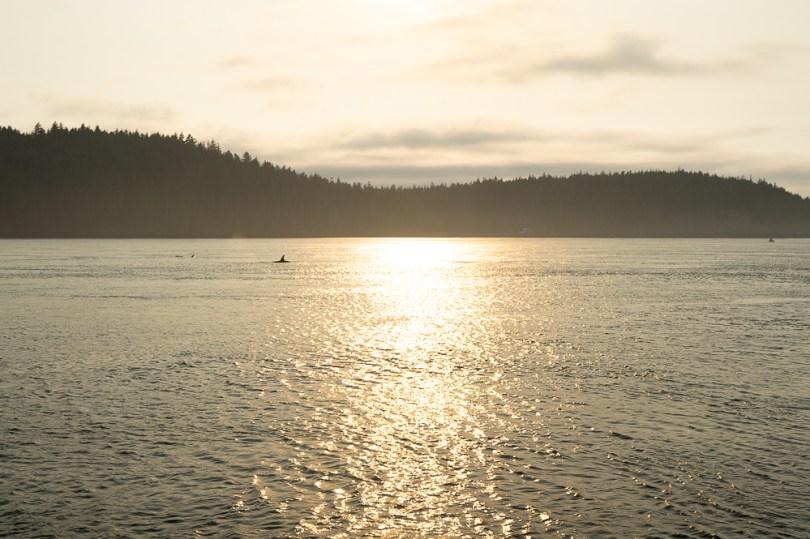 Telegraph Cove orque sunset