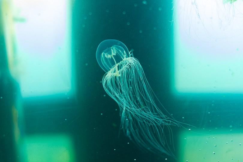 Ucluelet aquarium jellyfish