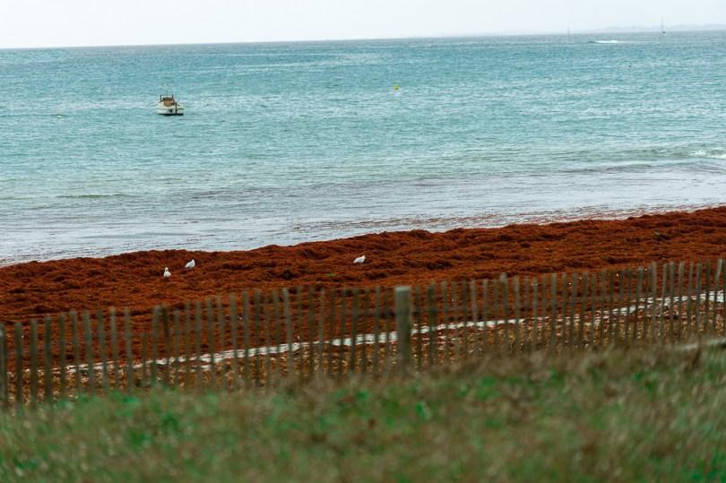 suscinio plage algues