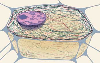 Image of: Intermediate Filaments How Does The Cytoskeleton Fit Into The Cell Cell Press Factorys Structurecytoskeleton Squidwards Clarinet Factory