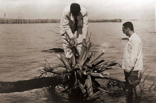 Engenheiros agrônomos Jesus Gerardo Parentes Fortes e Olavo Machado examinam o coqueiro para reerguê-lo