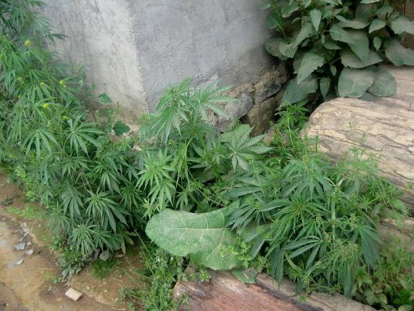 marihuana-china