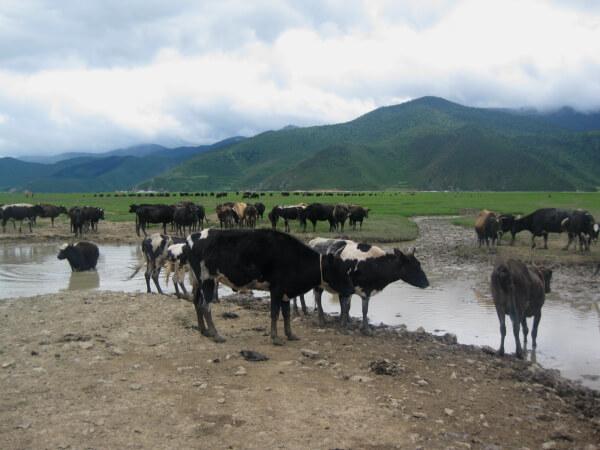 vaca-china1