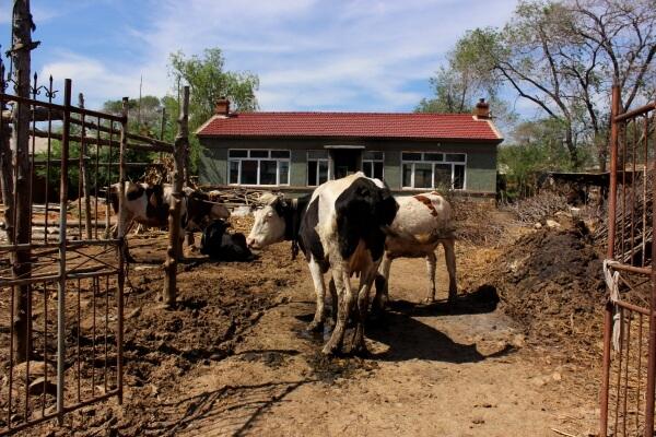 vacas-china-1