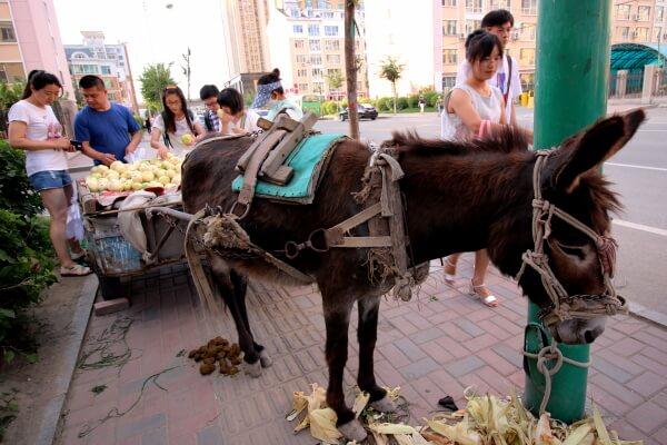 burro-changchun-1