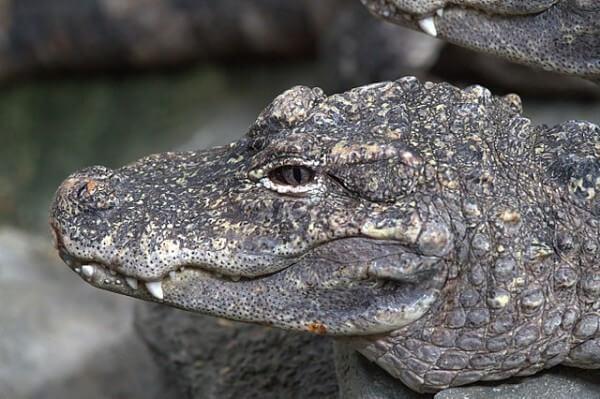 aligator-chino-1