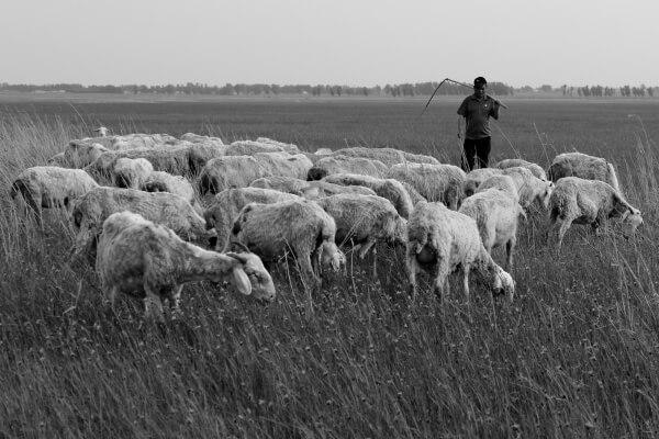pastor-ovejas-1