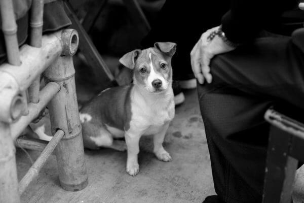 perro-chino-1
