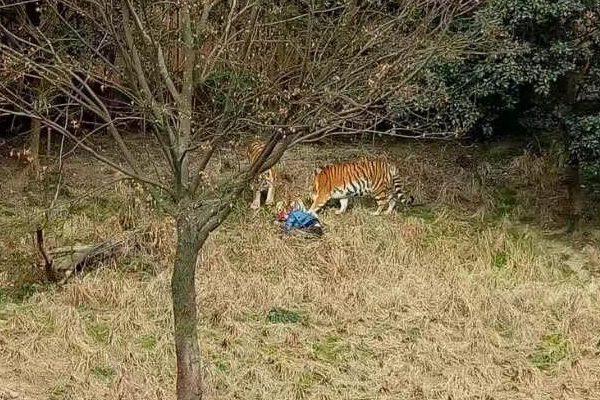 China: visitante de un zoo salta al recinto de los tigres y muere tras ser atacado