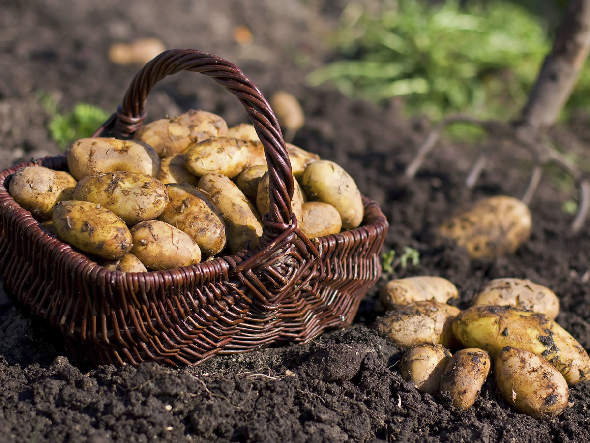 After 168 Years Potato Famine Mystery Solved