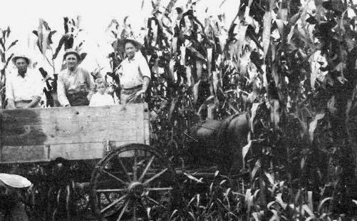 Frank Lowe in his Corn Field
