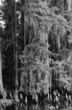 Louisiana Cypress