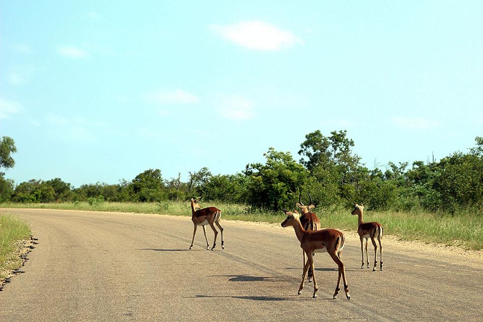 Les impalas traversant la route représentent un danger en Afrique du Sud