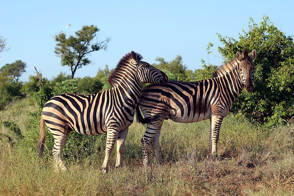 Deux zèbres observés lors d'un safari dans le parc Kruger en Afrique du Sud
