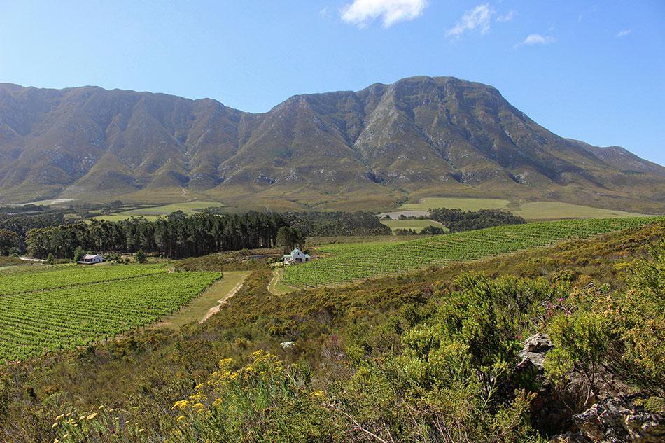 Champ de vigne et montagne sur la route des vins proche d'Hermanus en Afrique du Sud