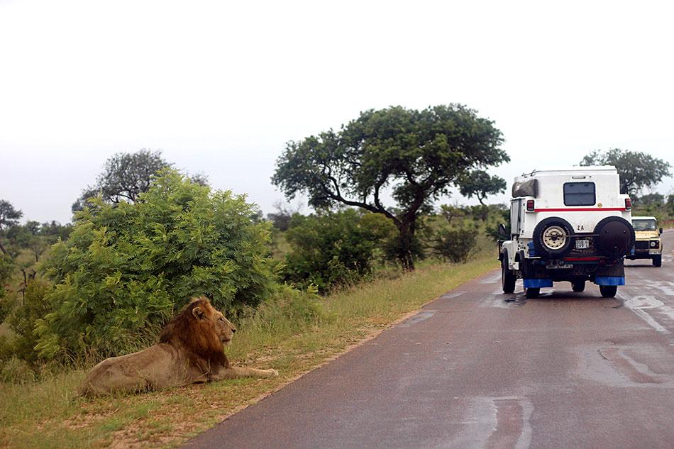 Lion et jeep lors d'un safari dans le parc Kruger en Afrique du Sud