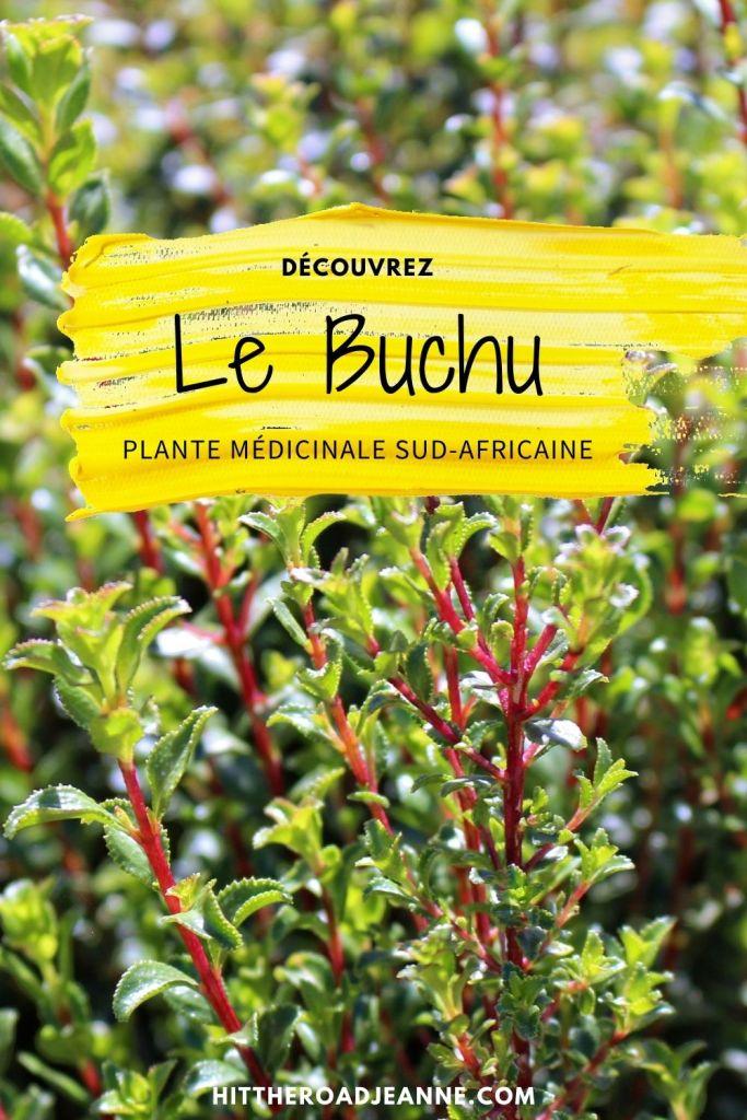 Buchu, plante médicinale sud-africaine