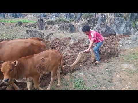 Cày Trên Đá Có Vất Vả Lắm Không /Hmong Life / Giàng Mí Chứ