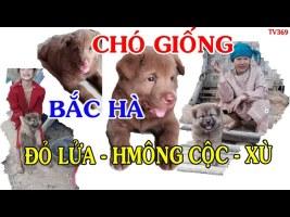 Chó GIỐNG Bắc Hà l Đỏ lửa l Hmong cộc l Xù tít mù l dog breed l pet dog l TV 369