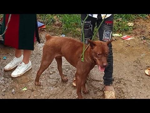 Con chó hmong cọc đỏ lửa bán với giá 9 triệu mà ai cũng hốt hoảng |  The dog costs 1,000 dollars