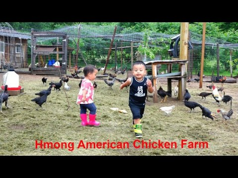 Hmong American Chicken Farm/hmoob meskas tu qaib coob kawg