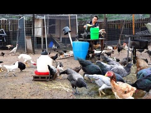 Hmong American Chicken Farm/Mus Pub Qaib Mas los Nag Loj Heev