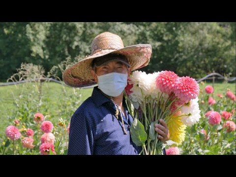 How to help Hmong flower farmers in Western Washington - KING 5 Evening