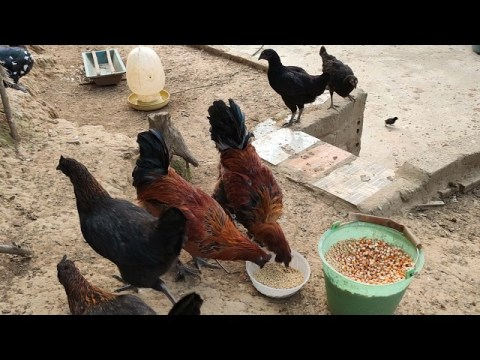 em niên tục cấp giống gà hmong bản địa nhé cả nhà 0987118005