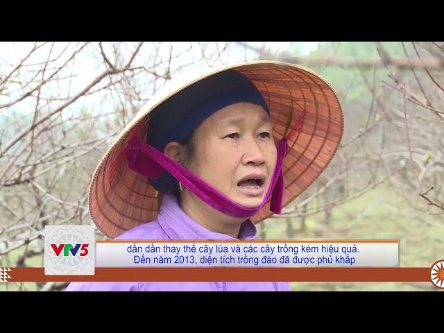 [TIẾNG MÔNG] NGHỀ TRỒNG ĐÀO PHAI Ở XUÂN DU | VTV5