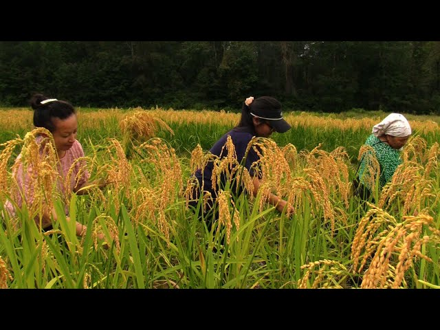 Hmong In State Of GEORGIA Harvest Rice Field/hmoob mes kas hlais nplej liaj 2021 EP 1