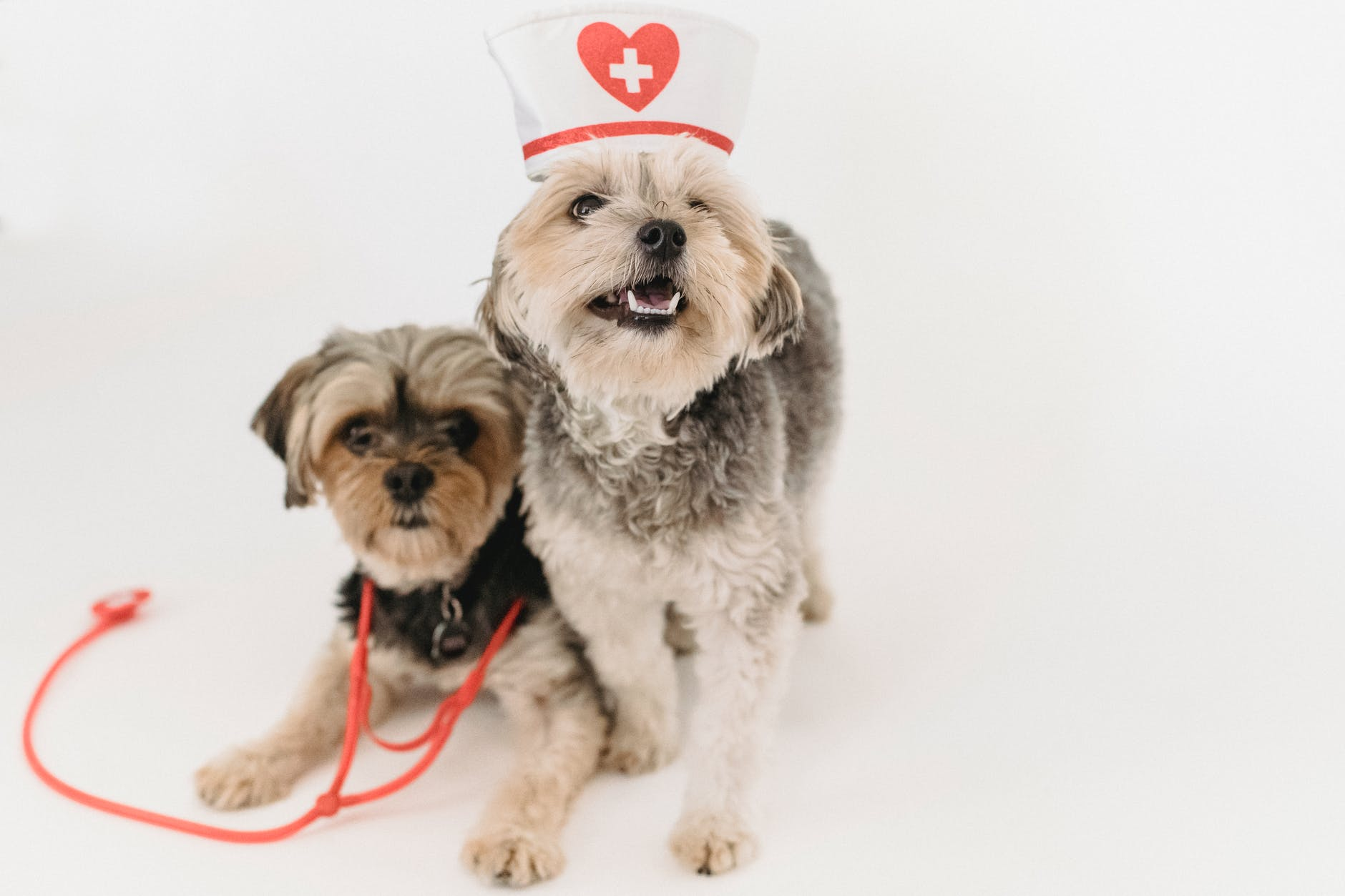 cute healthy yorkshire terrier with nurse cap and stethoscope