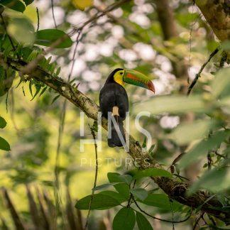 Panama Bocas del Toro Tucan Wildlife