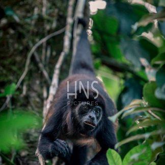 Panama Bocas del Toro Monkeys Wildlife