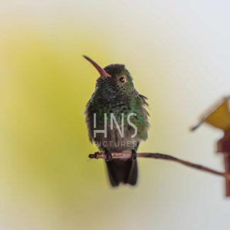 Panama Bocas del Toro Hummingbird Wildlife
