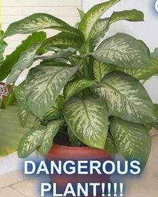 Picture about Indoor and Outdoor Plant Poisonous