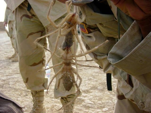 Picture about Giant Camel Spiders