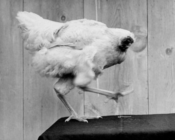 Picture: Mike, the Headless Chicken lived for 18 Months