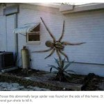 Picture about Angolan Witch Spider, Largest in the World, Eats Pets
