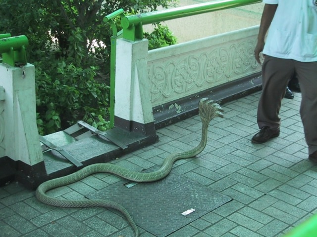 Picture about Five Headed Snake found in Kukke Subramanya Temple
