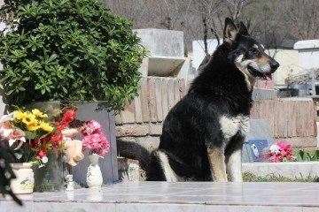 Picture: Loyal Dog Sleeps on Owner's Grave for the last 6 Years