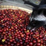 Picture: Kopi Luwak, an Expensive Coffee Made from Coffee Beans Excrete of Civet Cats