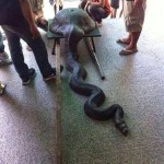 Picture of Snake that has Eaten a Wok