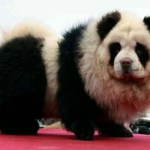 Picture about The Mysterious Panda Dog, Newest Rage in China