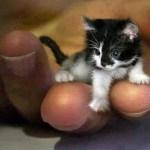 Picture about World's Smallest Cat Mr. Peebles