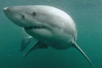 Picture about GoPro Video, Man Fights Off Great White Shark in Sydney Harbour