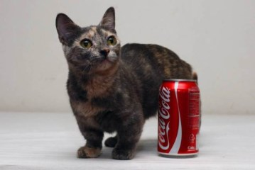 Picture about Pixel, World's Shortest Cat is 5 Inches Tall