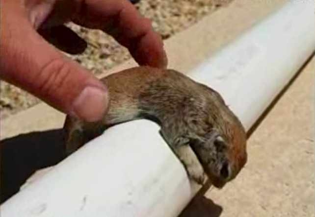 Picture: Pool Repairman Saves Drowning Squirrel with CPR