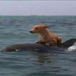 Picture about Dolphins Help Save Dog from Drowning