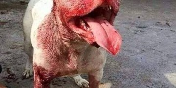 Picture Suggesting Pit bull Dog in India Killed His Owner Who Purchased it for 9 Lakhs Rupees